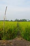 Chemin dans un domaine de riz image libre de droits