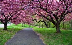 Chemin de fleur de cerise photographie stock libre de droits