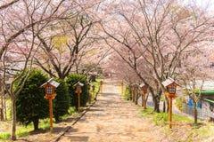Chemin de fleurs de cerisier Photo libre de droits