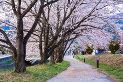 Chemin de fleurs de cerisier Image stock