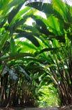 Chemin de jardin avec la centrale de Heliconia couverte Image libre de droits
