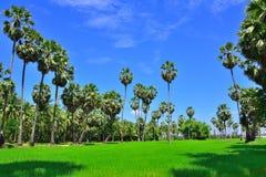 Chemin de jardin de palmier de sucre avec ensoleillé Photographie stock