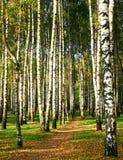 Chemin de marche dans le verger de bouleau d'automne de soirée Photographie stock libre de droits