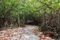 Chemin de palétuvier avec l'auvent dense Photo libre de droits