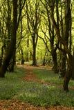Chemin de région boisée avec des arbres et des jacinthes des bois Image libre de droits