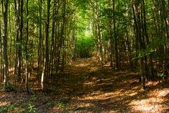 Chemin de ruelle de passage couvert avec les arbres verts en Forest Beautiful Alley In Park Voie de voie par la for?t fonc?e photographie stock libre de droits