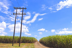 Chemin de terre allant par Sugar Cane Field Photo libre de droits