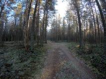 Chemin de terre dans la forêt dense massive de pin en automne en retard de froid Photo libre de droits