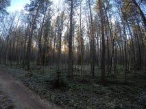Chemin de terre dans la forêt dense massive de pin en automne en retard de froid Images libres de droits