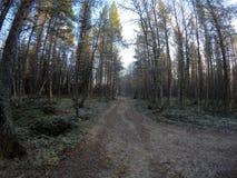 Chemin de terre dans la forêt dense massive de pin en automne en retard de froid Photos stock