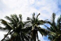 Chemin de terre en parc Feuilles vertes des palmiers de noix de coco se tenant en ciel tropical bleu lumineux, dans le jardin photos libres de droits