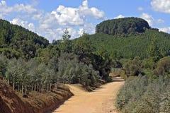 Chemin de terre flanqué de planter l'eucalyptus et le pin Images stock