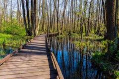 Chemin en bois de pied à travers la forêt de marais au printemps au jour ensoleillé image libre de droits