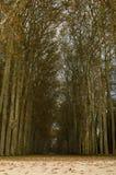 Chemin entre de hauts arbres Image libre de droits