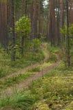 Chemin forestier autour des pins et de la mousse photo libre de droits
