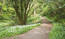 Chemin forestier avec les fleurs blanches Photo libre de droits