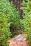Chemin forestier par de jeunes pins images stock