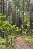 Chemin forestier près du jeunes chêne et pin image libre de droits