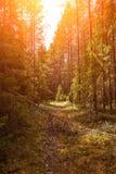 Chemin forestier sous des rayons de soleil de coucher du soleil Ruelle fonctionnant par l'été Forest At Dawn Or Sunrise à feuille image libre de droits