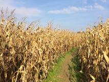 Chemin jaune d'or de champ de maïs de ferme Photos libres de droits