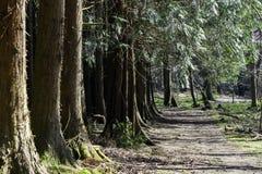 Chemin le long de forêt de pin en été images libres de droits