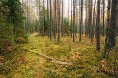 Chemin, voie, manière dans la forêt conifére à feuilles persistantes d'automne sauvage au sujet de Photos stock