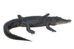 Chemins de découpage de crocodile Photos stock