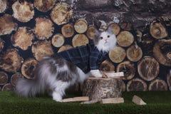 Chemise de chat coupant le bois de chauffage dans l'arrière-cour Images stock