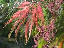 Chenese红色树 库存图片
