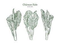 Chenese chi?czyka lub Kale broku?y, r?ka remisu nakre?lenia wektor ilustracja wektor