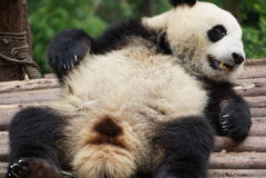 Chengdu badania baza Gigantycznej pandy hodowla fotografia stock
