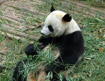 Chengdu, China: Giant Panda Eating Bamboo Royalty Free Stock Images