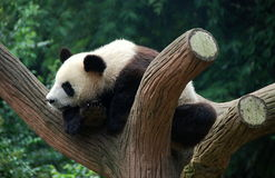 Chengdu, China: Giant Panda in Tree Royalty Free Stock Image