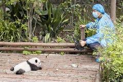 Journalist filming baby panda first public display in Chengdu Research Base of Giant Panda Breeding. Stock Image