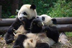 Chengdu, Chine : Pandas mangeant le bambou Photos stock