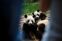 Chengdu-Forschungs-Basis des Riesen Panda Breeding stockbild