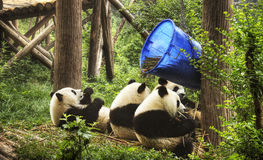Chengdu panda breeding center Stock Photos