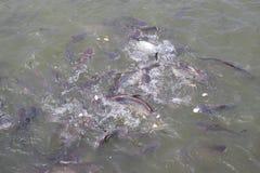 Chengdu, porcelaine : poissons d'alimentation Photos stock