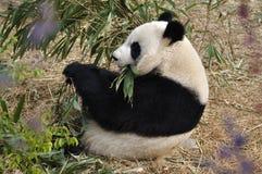 chengdu porcelany panda Zdjęcia Stock