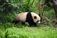 The Chengdu Research Base of Giant Panda Breeding. (hereafter Chengdu Panda Base) is a non-profit organization engaged in wildlife research, captive breeding stock photos