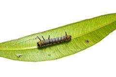 Chenille commune de noyau d'Euploea de corneille de jeunes photo libre de droits