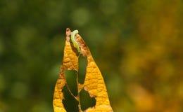 Chenille de Helicoverpa mangeant la feuille dans la plantation de soja Photo libre de droits