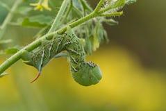 Chenille de Hornworm de tabac (sexta de Manduca) sur la plante de tomate images stock