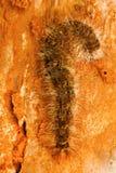 Chenille de mite, Barnawapara WLS, Chhattisgarh Image libre de droits