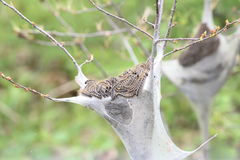 Chenille de tente orientale (americanum de Malacosoma) Photographie stock libre de droits