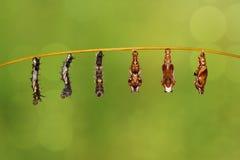 Chenille de transformation aux chrysalides du restin de papillon de commandant Photos libres de droits