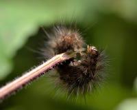Chenille en retard blanche d'instar de hermine (lubricipeda de Spilosoma) Photo stock