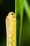 Chenille mangeant une lame d'herbe Image libre de droits