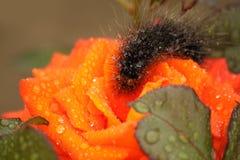 Chenille pelucheuse sur une rose d'écarlate Photo stock