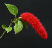 Chenille Plant Acalypha hispida Royalty Free Stock Images